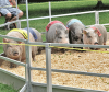 pigs-race-gouverneur.png