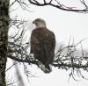 st-regis-falls-eagle.png